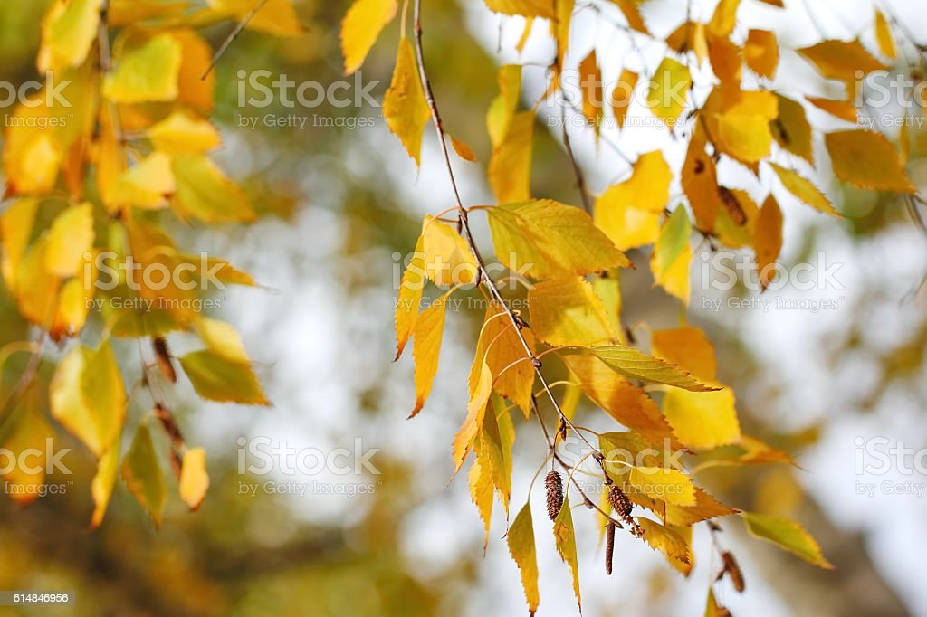 Yellow autumn leaves on natural background stock photo