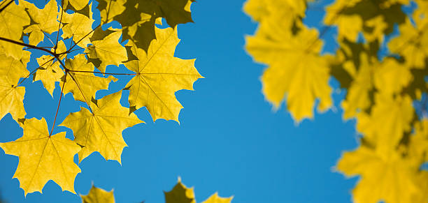 Yellow autumn maple leaves on blue sky stock photo