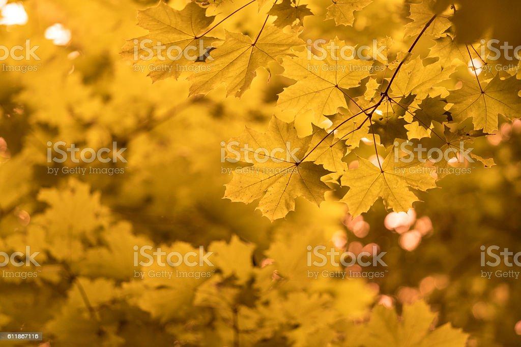 Yellow Autumn Maple Leaves Wallpaper Picture Foto De Stock Y