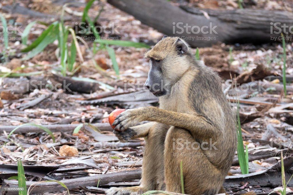 Babouin jaune, manger un fruit dans le gibier de Selous en Tanzanie - Photo