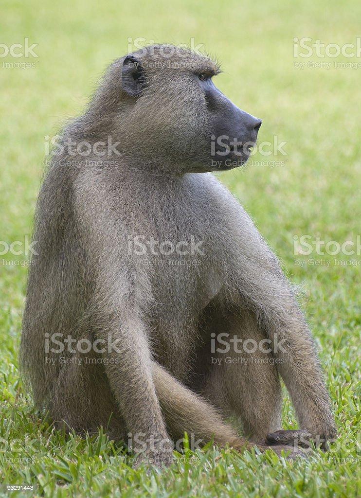 Yellow Baboon, Kenya stock photo