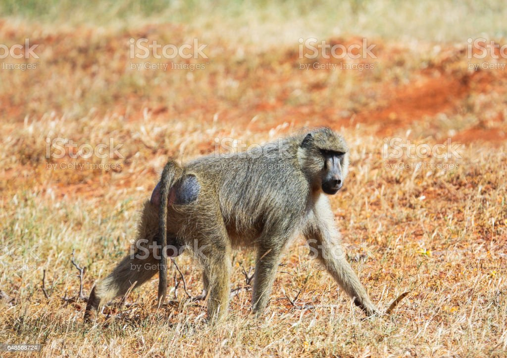 Yellow Baboon - Papio cynocephalus, Tsavo West, Kenya stock photo