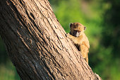 Young Yellow Baboon in the Tarangire National Park, Tanzania