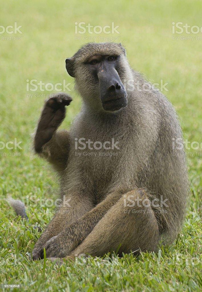 Yellow Baboon (Papio cynocephalus) scratching its ear, Kenya stock photo