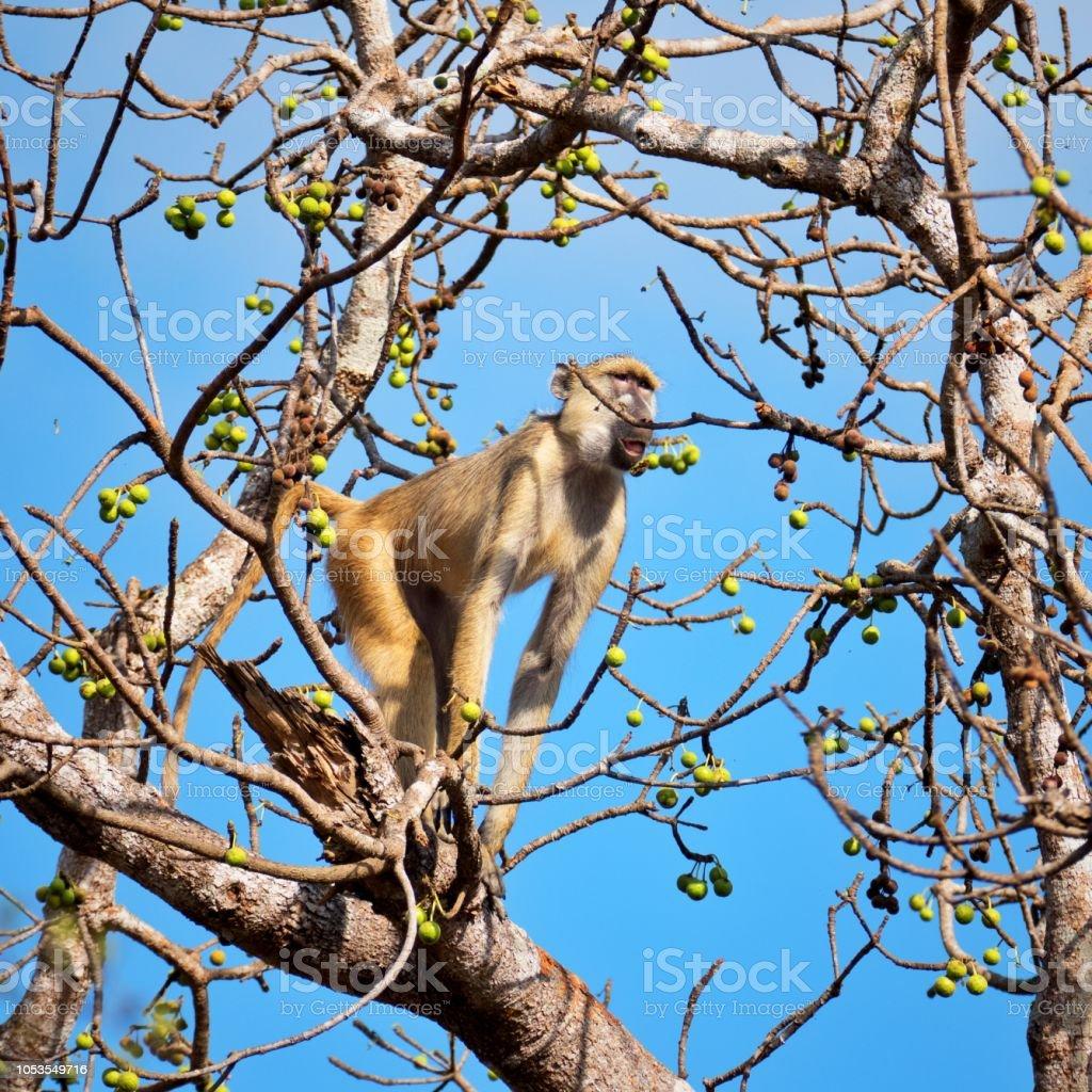 Babouin jaune, assis sur une branche et manger des fruits - Photo