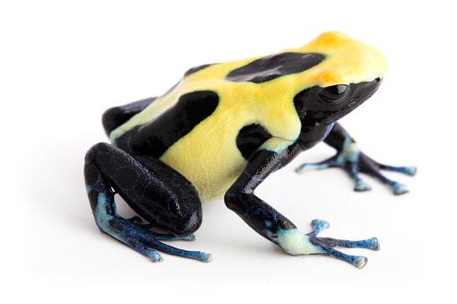 Yellow Back Poison Dart Frog Dendrobates Tinctorius - Fotografie ...