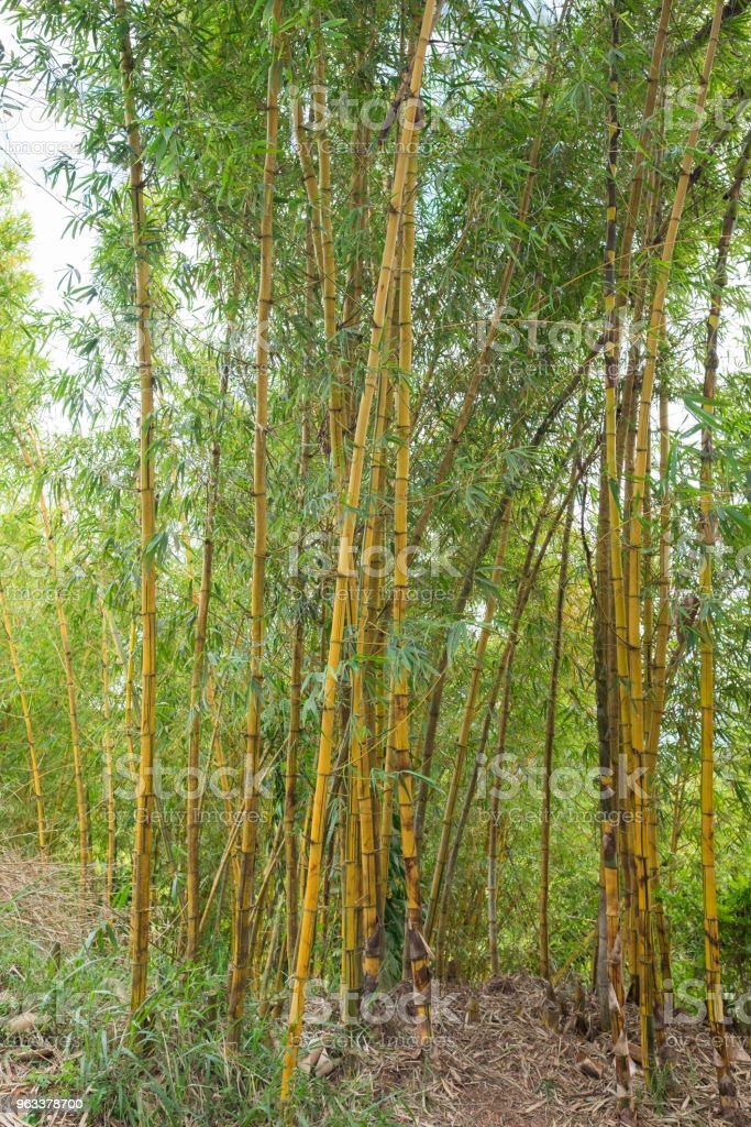 Yellow Bamboo Clumps in Bamboo Forest as Bamboo Background. Bamboo forest with sunny in morning - Zbiór zdjęć royalty-free (Azja)