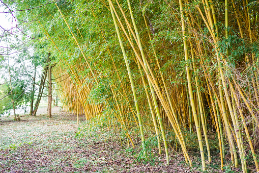 Yellow bamboo forest. Natural texture