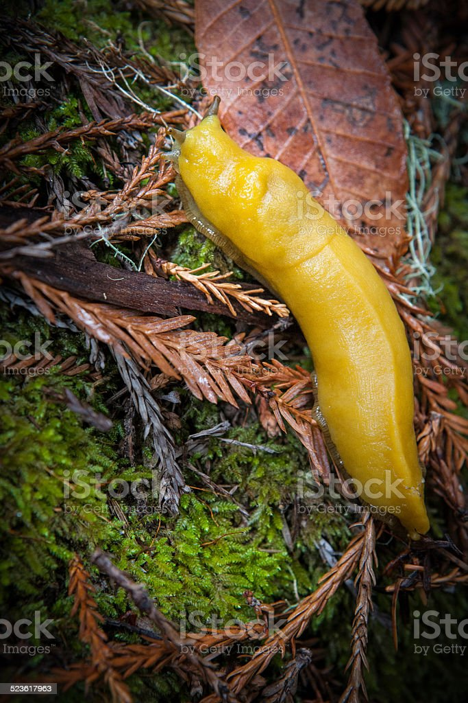 Yellow Banana Slug, Big Basin State Park stock photo