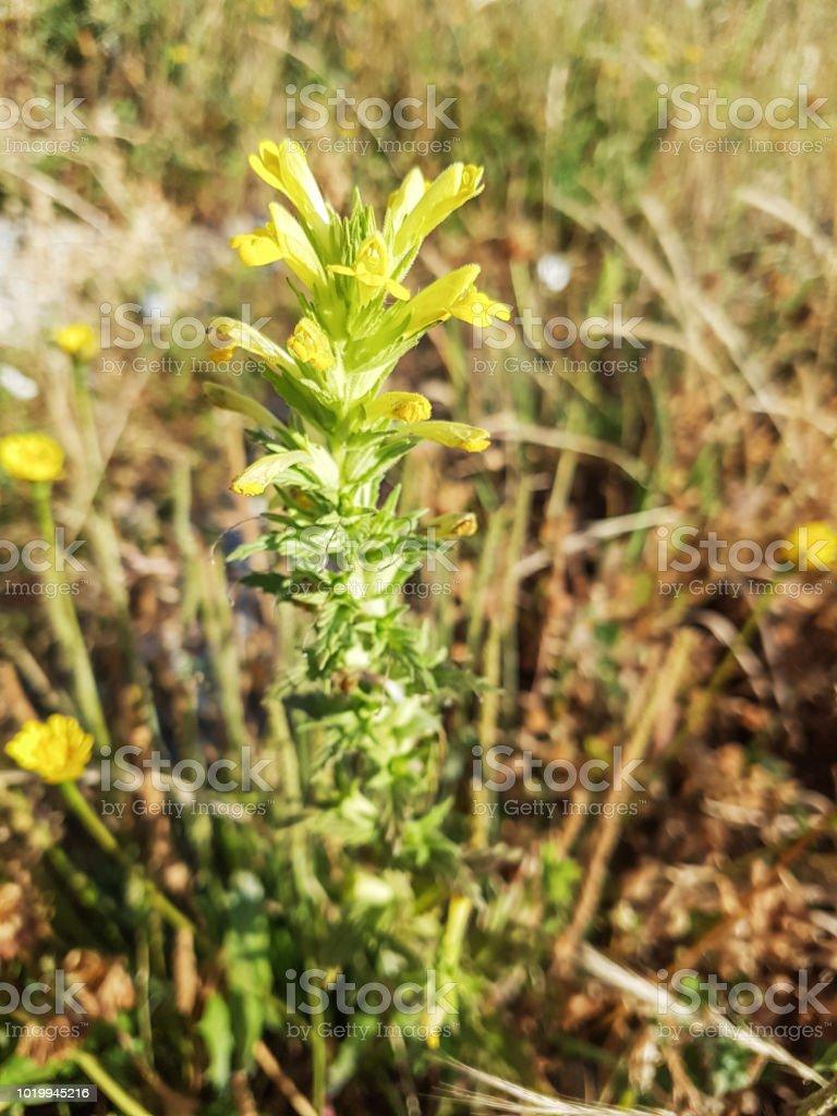Bartsia amarilla o glandweed, algaravia - foto de stock
