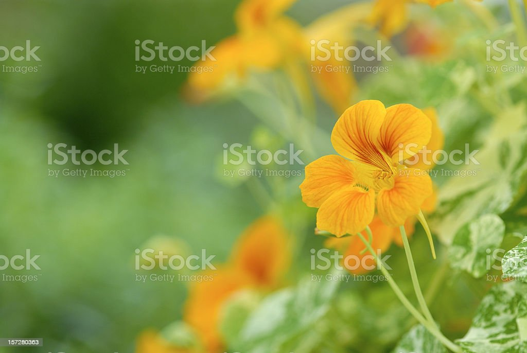 Yellow Bean Flowers in Blossom stock photo