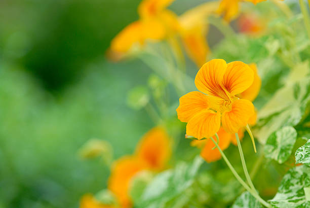 yellow bean flowers in blossom - nasturtium stock photos and pictures