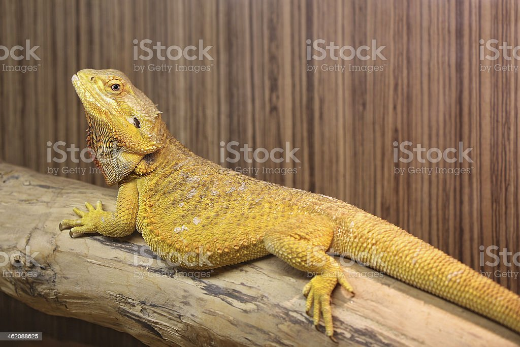 Yellow Bearded Dragon stock photo