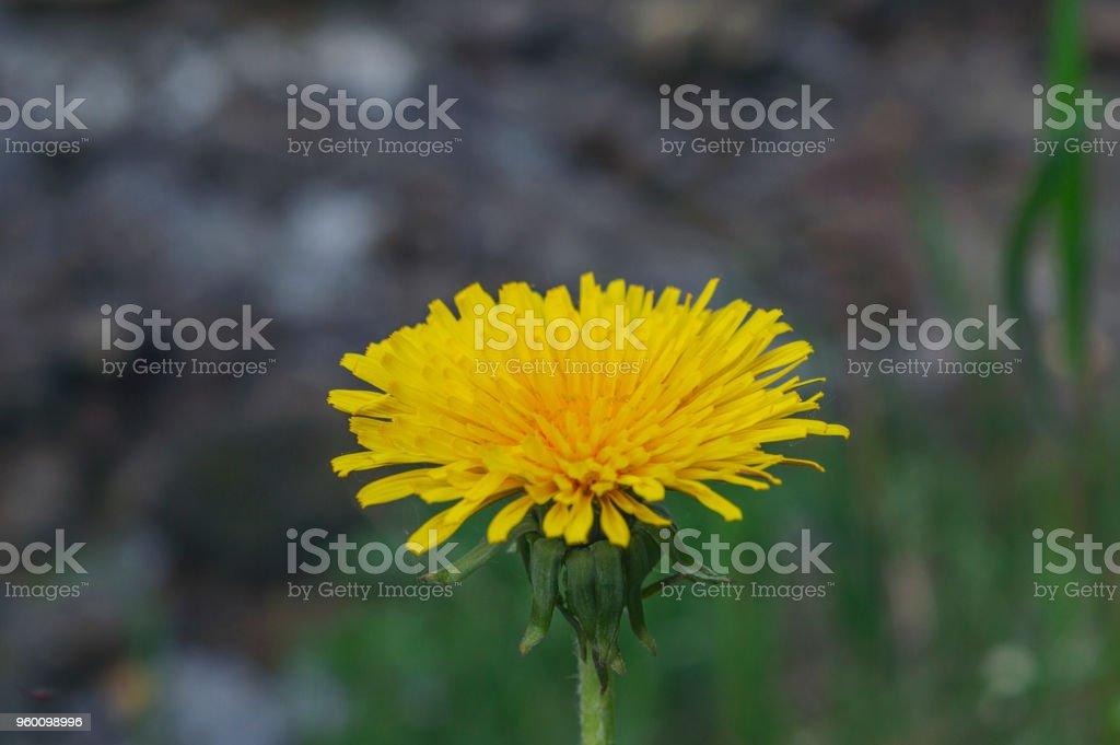Yellow beaty dendelion stock photo