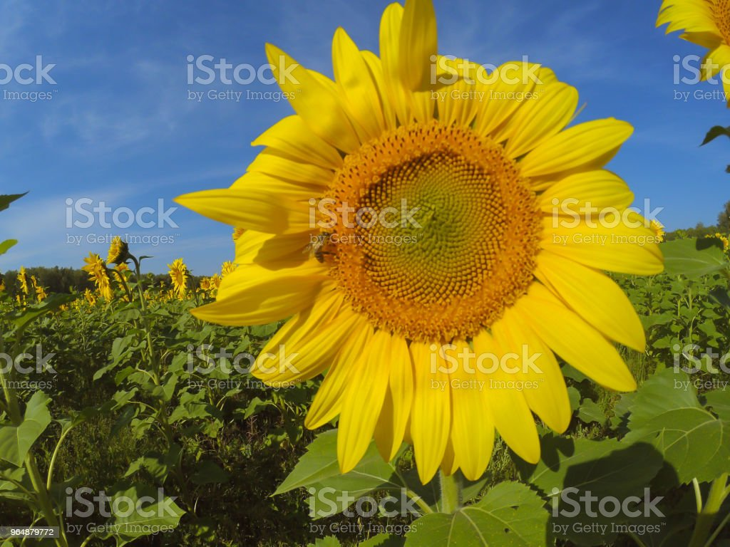Yellow beautiful sunflower on a green stalk and large leaves stands on a sunflower field in a bright sunny joyful day, the sun shines, clear blue sky, blurred background. Bee on sunflower. royalty-free stock photo