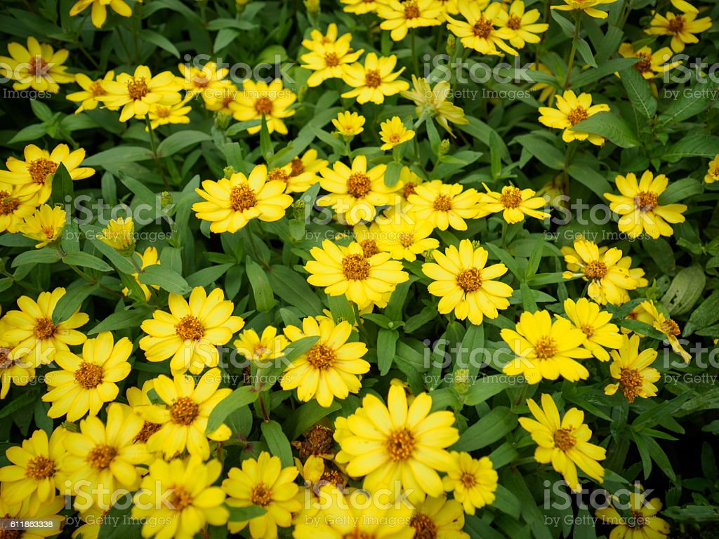 Yellow Beautiful Sunflowers In Garden Stock Photo More Pictures Of