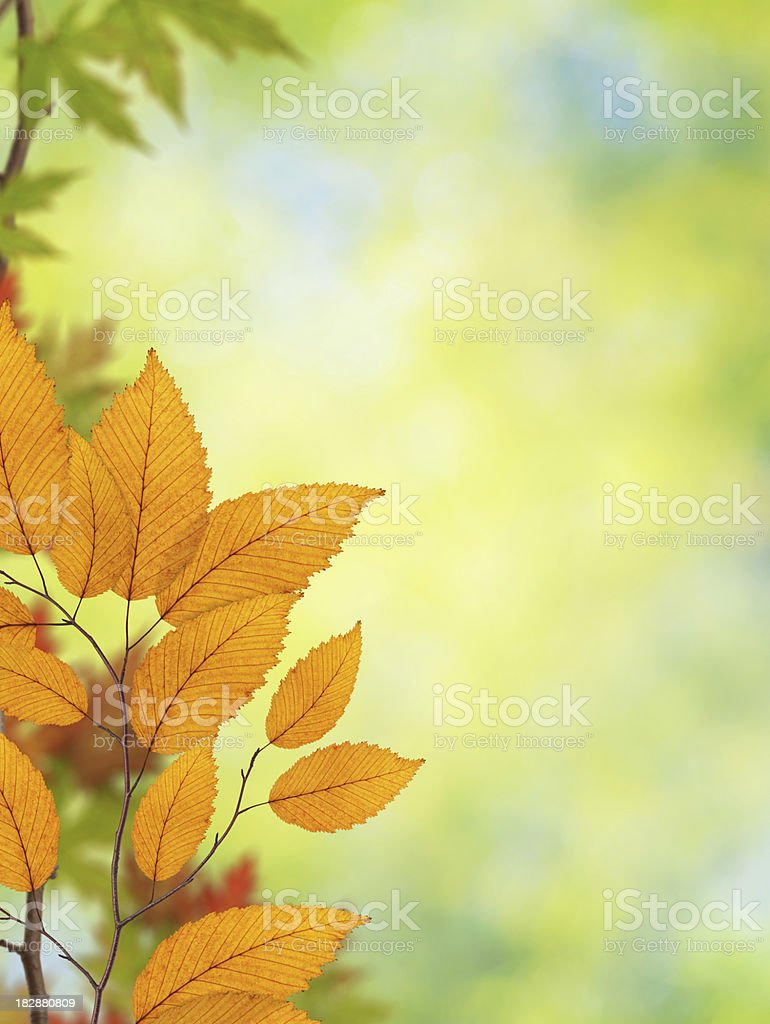 Yellow Beech Leaves royalty-free stock photo