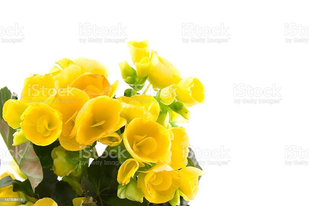 Yellow begonia stock photo
