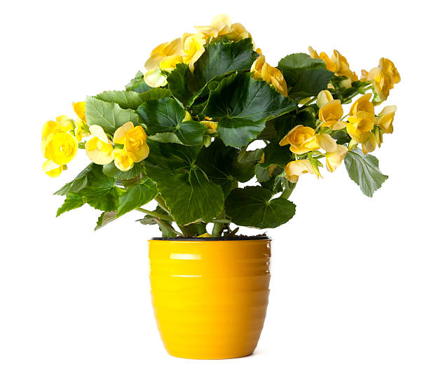 Yellow Begonia stock photo