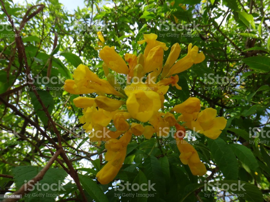 Yellow Bell Flowers And Buds Stock Photo More Pictures Of Beauty