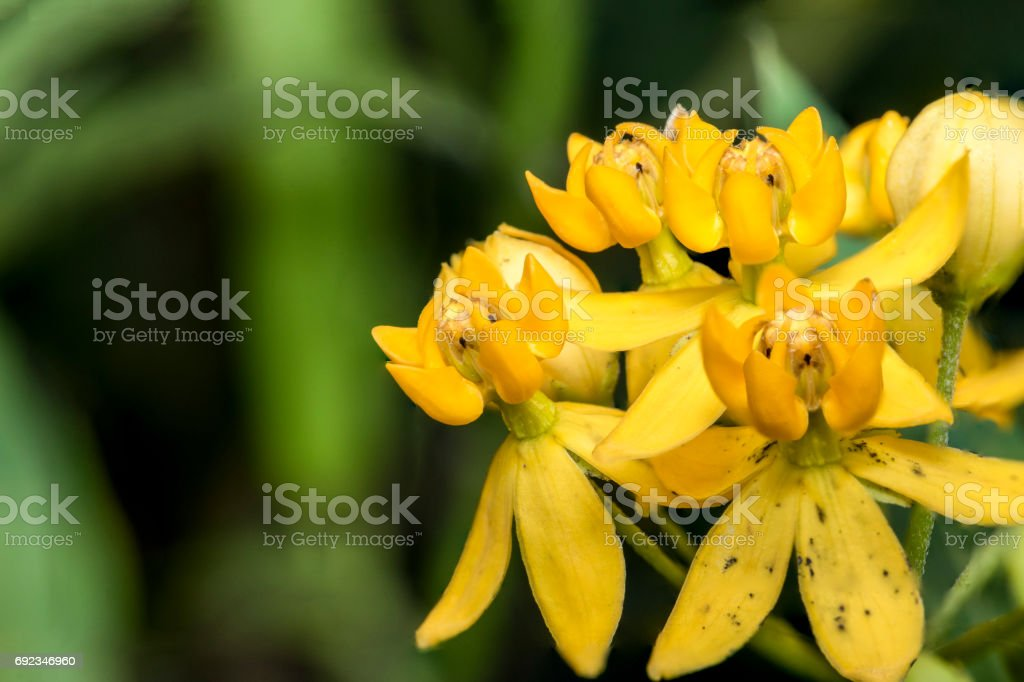 Yellow Bell Flowers In A Garden Stock Photo More Pictures Of