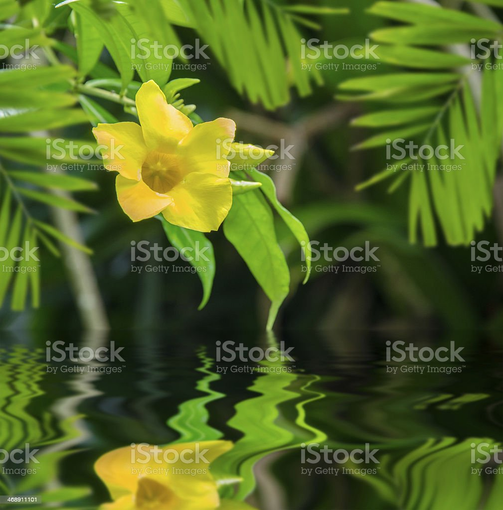 Yellow Bell (Allamanda cathartica) in mirror stock photo