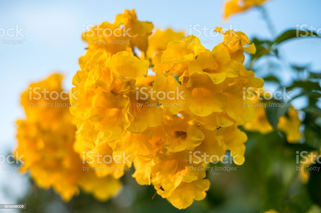 Yellow bell yellow elder trumpet bush tree bouquet leaf stock photo yellow bell yellow elder trumpet bush tree bouquet leaf royalty free stock photo mightylinksfo