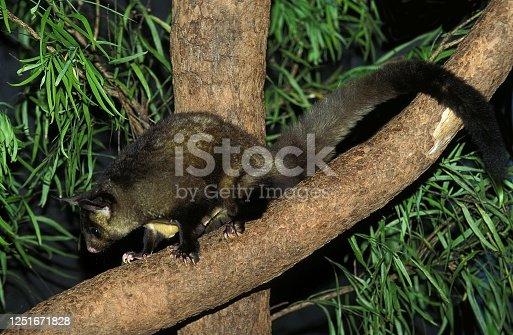 Yellow Bellied Glider, petaurus australis