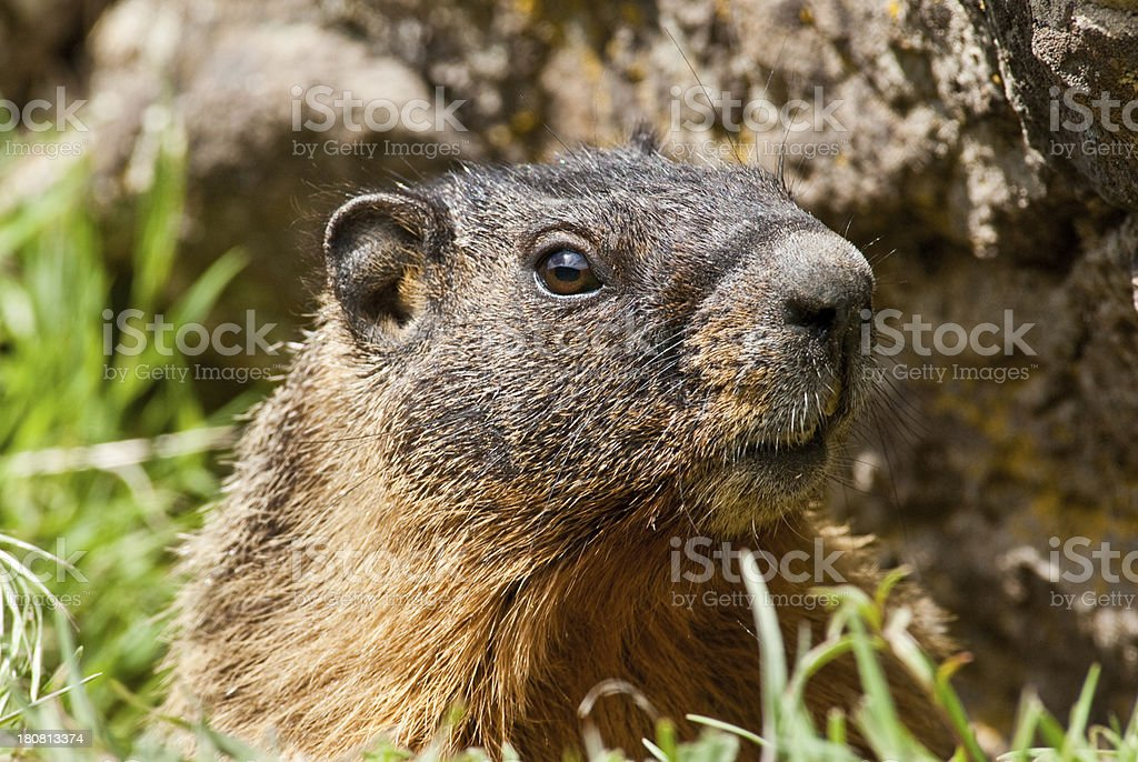 Yellow Bellied Marmot Hiding in a Burrow royalty-free stock photo