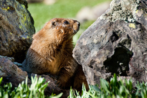 Yellow Bellied Marmot Hiding In The Rocks Stock Photo - Download Image Now