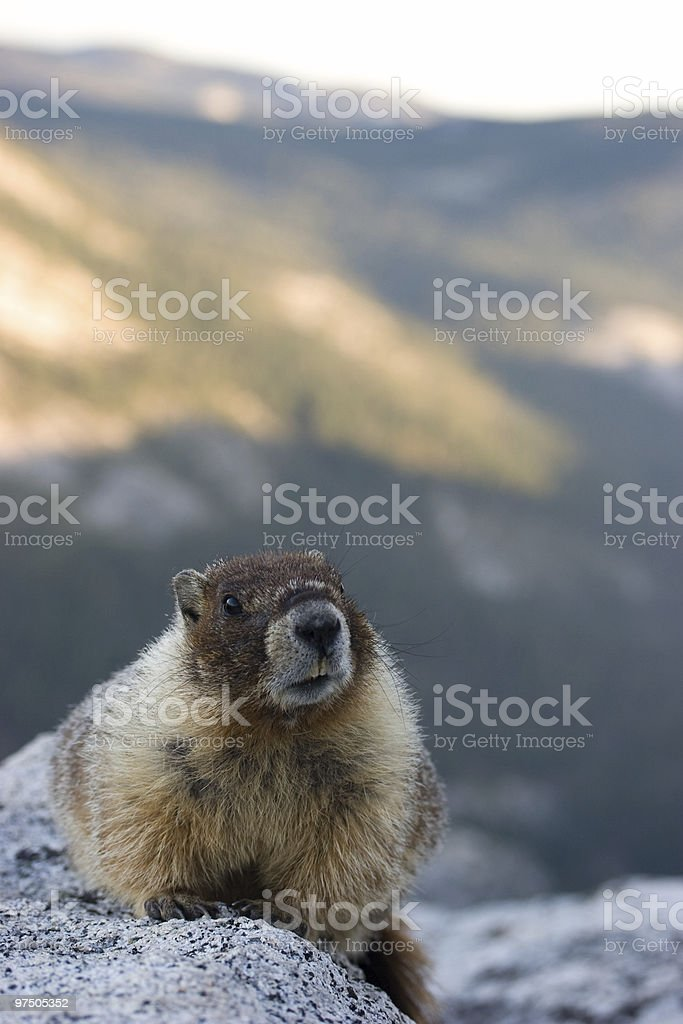 Yellow bellied marmot on Half Dome 2 royalty-free stock photo