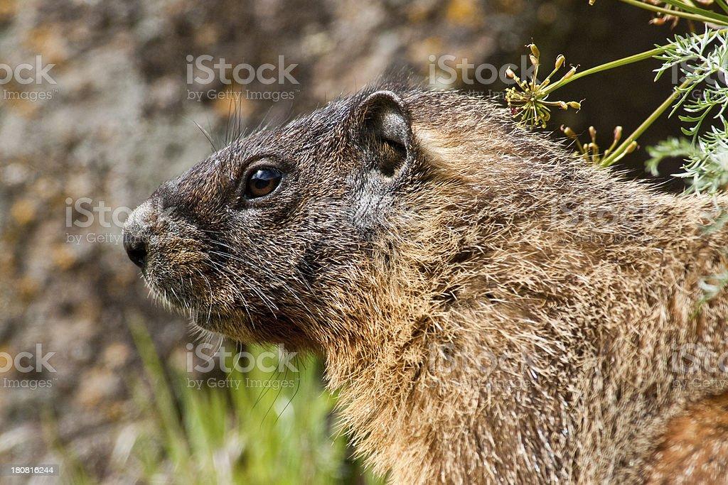 Yellow Bellied Marmot royalty-free stock photo