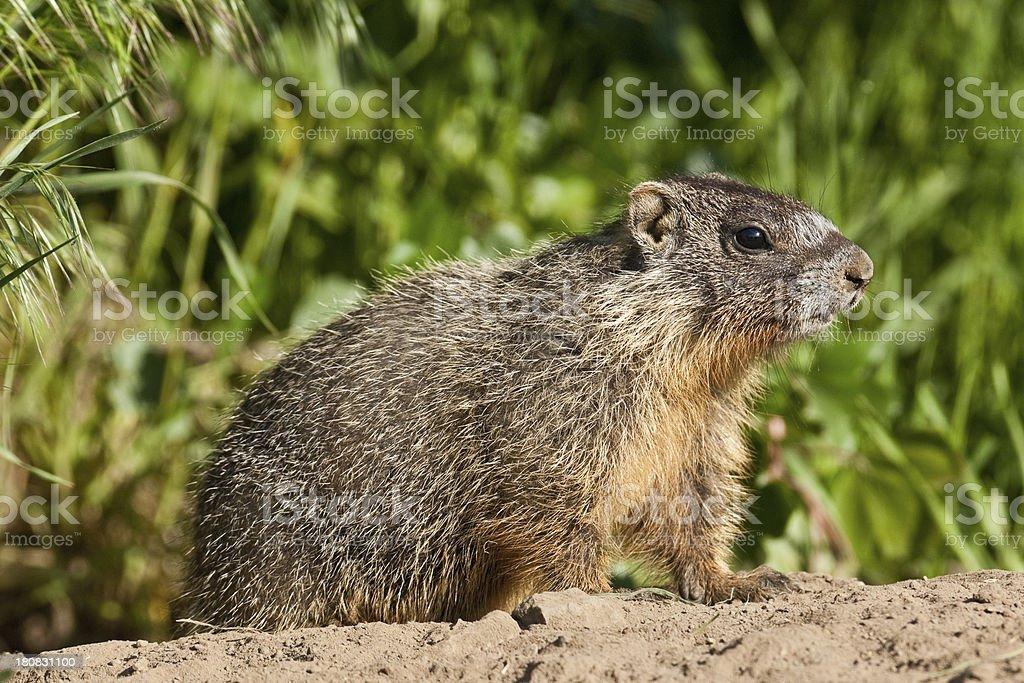 Yellow Bellied Marmot stock photo