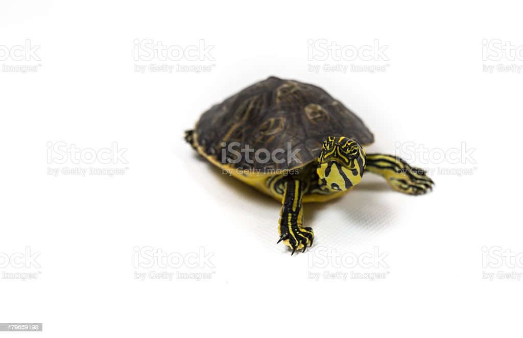 Yellow bellied pond slider on white background stock photo