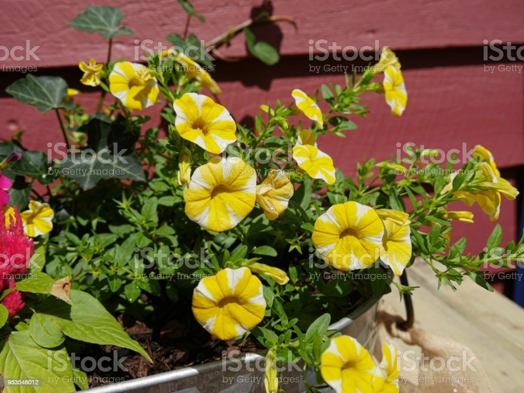 Yellow bellshaped flowers stock photo more pictures of beauty istock blossom flower flower head petal plant yellow bell shaped mightylinksfo