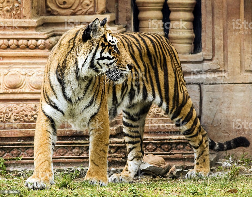 Yellow Bengal Tiger royalty-free stock photo
