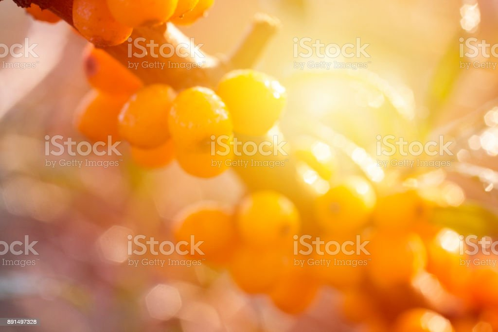 Yellow berries of sea buckthorn. stock photo