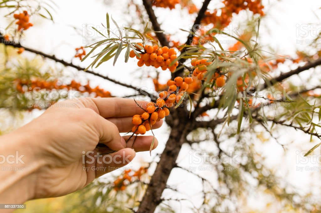 yellow berries of sea-buckthorn on a branch in hand stock photo