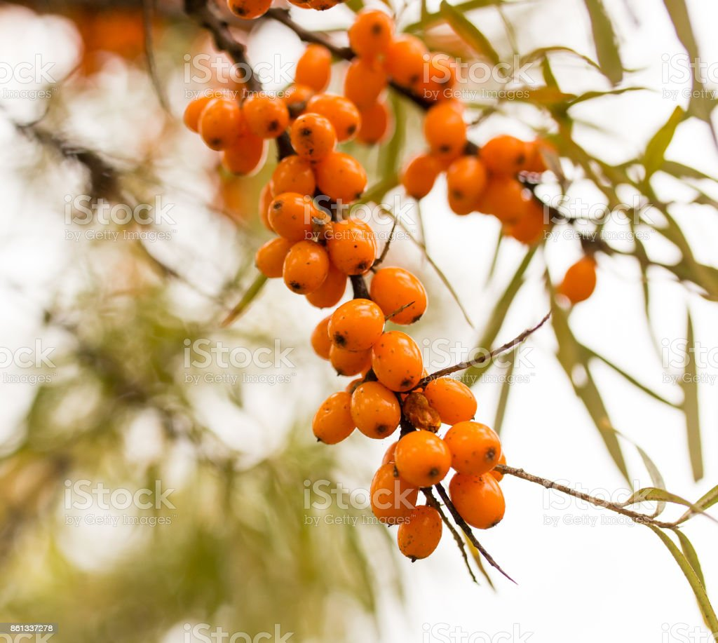 yellow berries of sea-buckthorn on a branch stock photo