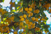 Yellow berries on the branch. Cherry plum or plum or plum cherry (lat. Prunus cerasifera). A bountiful harvest. Selective focus, place for text.