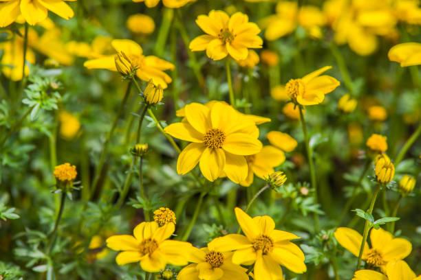 yellow bidens - joe biden стоковые фото и изображения