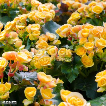 Beautiful background of yellow big begonias