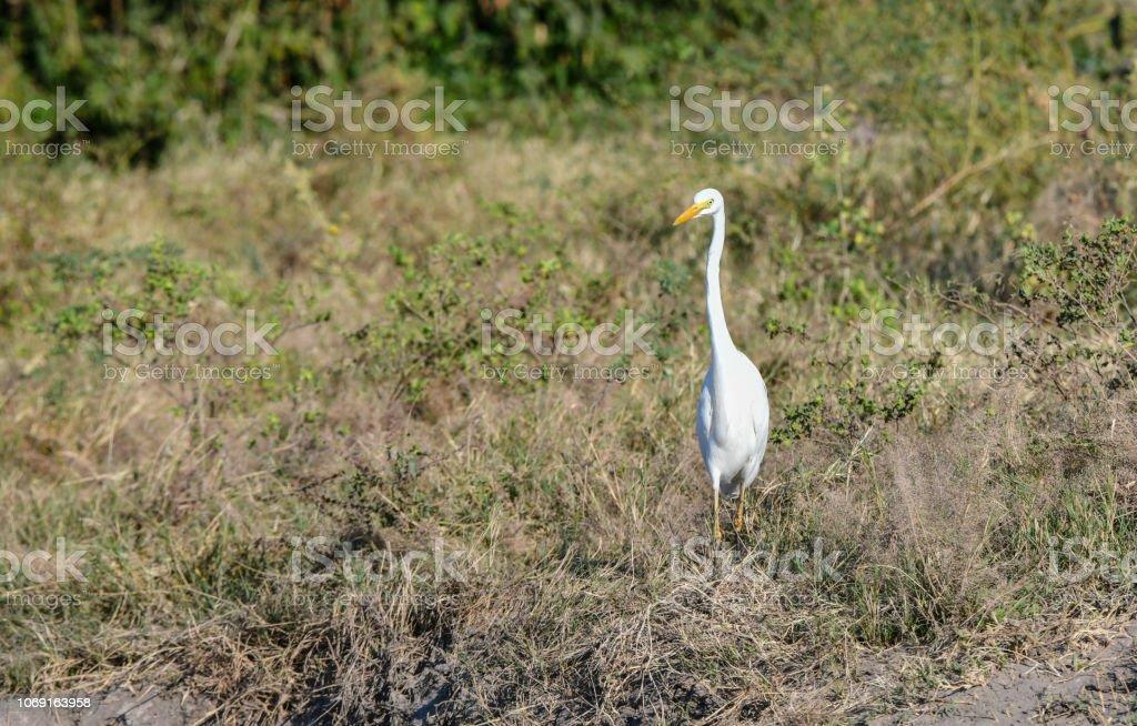 Gelb in Rechnung gestellt Egret – Foto