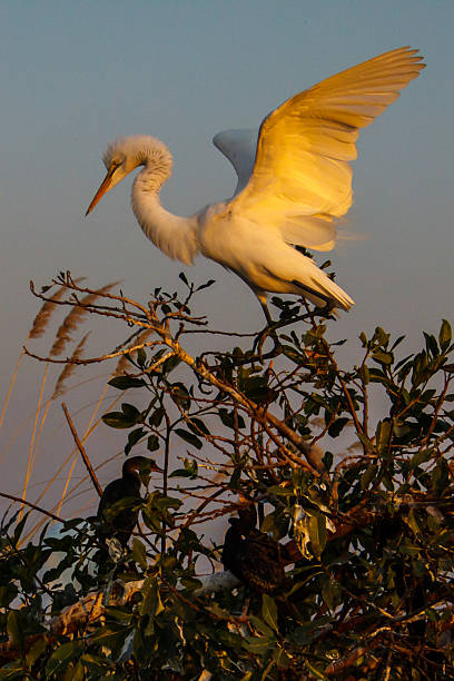 Yellow billed egret with extended wings at sunset stock photo