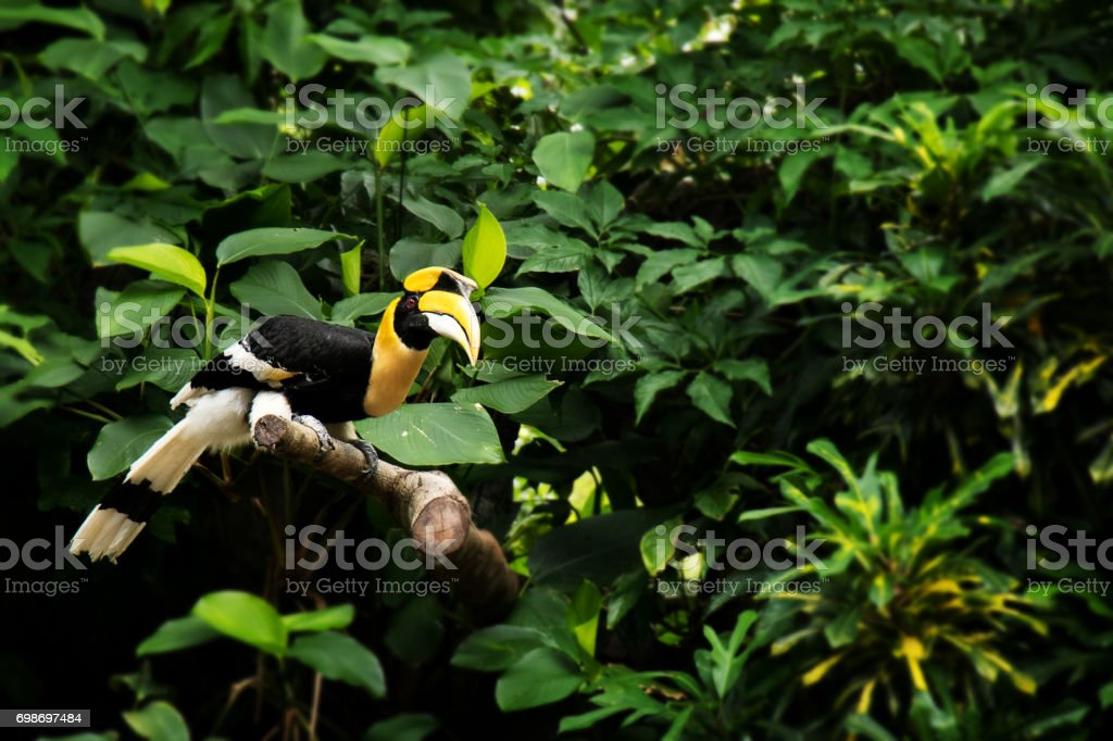 Yellow Billed Hornbill, Great hornbill, Great indian hornbill, Great pied hornbill in green topic rainforest stock photo