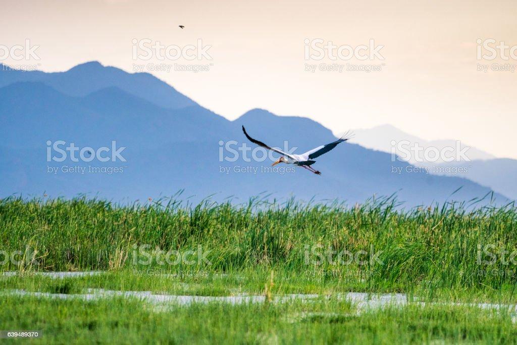 Yellow billed stork in Tsavo West National Park stock photo