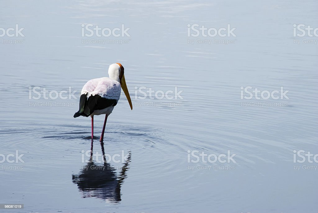Yellow billed Stork wading in shallow waters, Ngorongoro Crater royalty-free stock photo