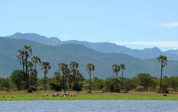 Yellow billed storks, Palm trees and Mountains, Malawi, Africa stock photo
