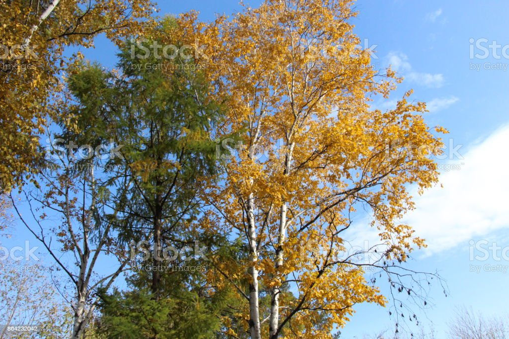 Yellow birch and green larch against the sky / Autumn landscape / royalty-free stock photo
