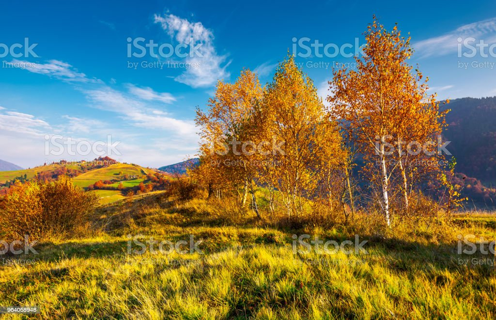 yellow birch trees in mountains at sunrise - Royalty-free Agricultural Field Stock Photo